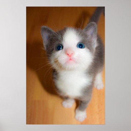 """Poster del """"gatito de ojos azules dulce"""""""