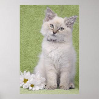 Poster del gatito de Ragdoll con el fondo verde