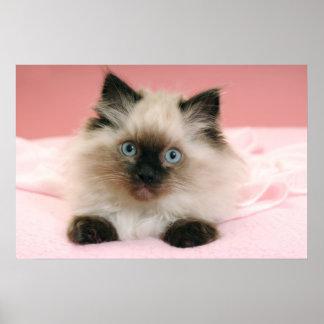 poster del gatito del ragdoll