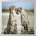Poster del guepardo