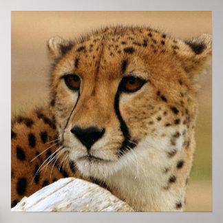 Poster del guepardo póster