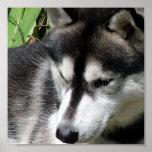 Poster del husky siberiano