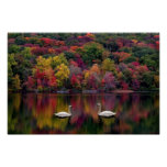 Poster del lago swan