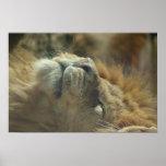 Poster del león que toma el sol