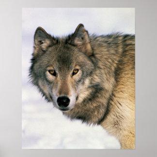 Poster del lobo