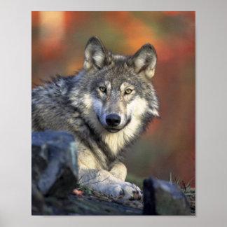 Poster del lobo gris