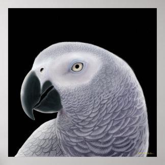 Poster del loro del gris africano de Congo Póster