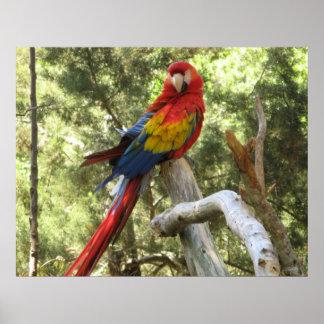 Poster del loro del Macaw