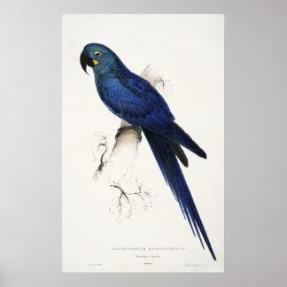 Poster del Macaw del jacinto