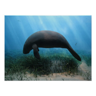 Poster del Manatee Póster