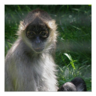 Poster del mono de araña