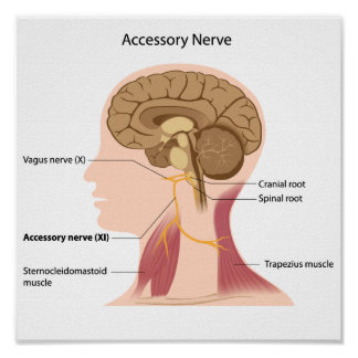 Poster del nervio accesorio