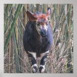 Poster del Okapi