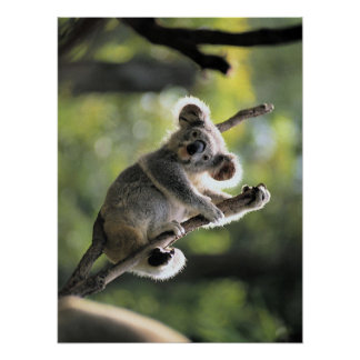 Poster del oso de koala