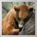 Poster del oso de Kodiak el dormir