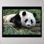 Poster del oso de panda