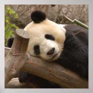 Poster del oso de panda gigante y de la panda del