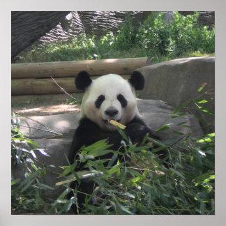 Poster del oso de panda póster