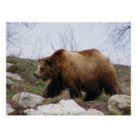 Poster del oso grizzly