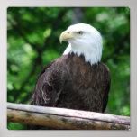 Poster del pájaro de Eagle calvo