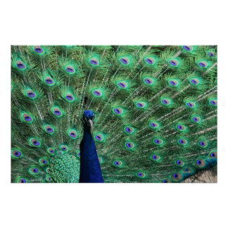 Poster del pavo real