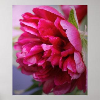 Poster del peony de las rosas fuertes