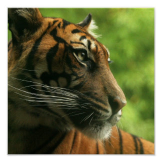 Poster del perfil del tigre