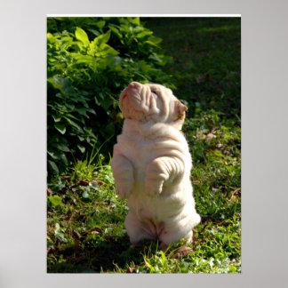 Poster del perrito de Shar-pei del chino
