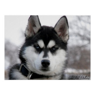 Poster del perrito del husky siberiano