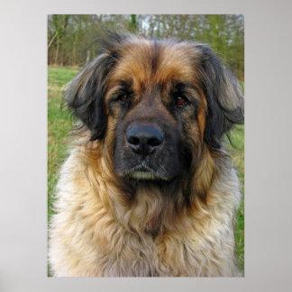 Poster del perro de Leonberger, impresión, foto he