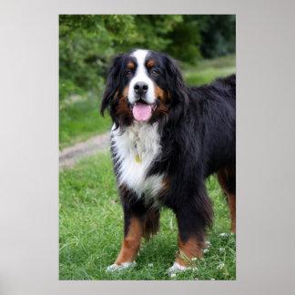 Poster del perro de montaña de Bernese, impresión,