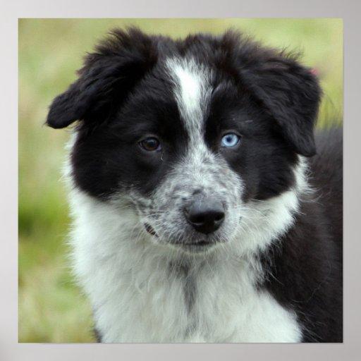 Poster del perro de perrito del border collie, ide