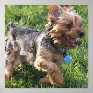 Poster del perro de York Terrier