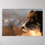 Poster del perro del border collie