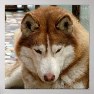 Poster del perro esquimal de Brown