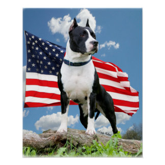 Poster del pitbull (Staffordshire Terrier american