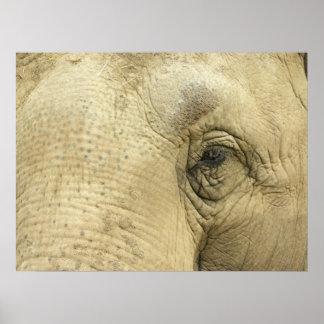 Poster del primer del ojo del elefante