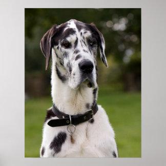 Poster del retrato del perro de great dane, impres