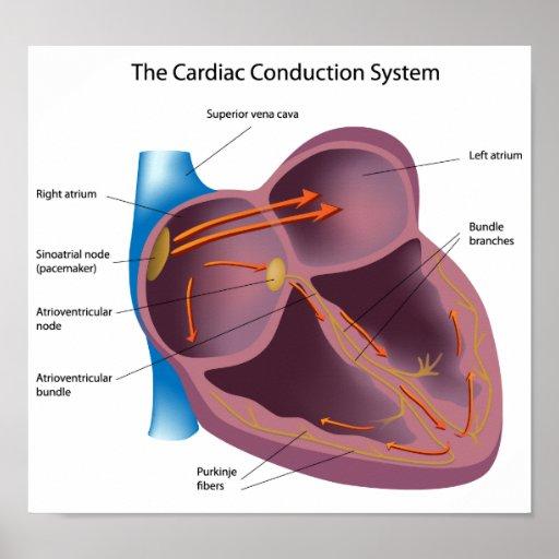 Poster del sistema de la conducción del corazón