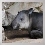 Poster del Tapir