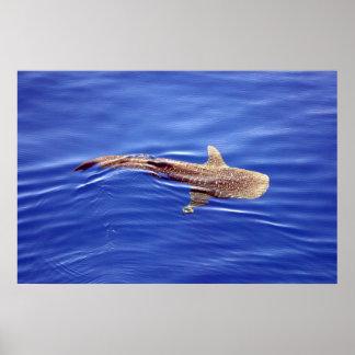 Poster del tiburón de ballena