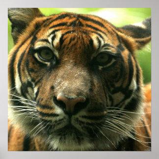 Poster del tigre