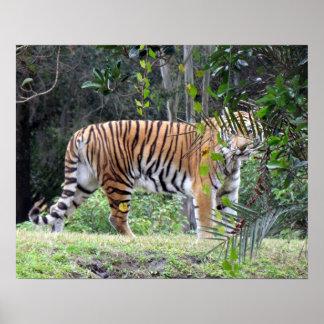 Poster del tigre de Bengala