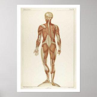 Poster del trasero de la anatomía