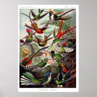 Poster del Trochilidae (colibrí)