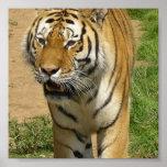 Poster del vagabundeo del tigre