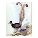 Poster del vintage del pájaro del Lyre Postal