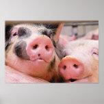 Poster demasiado lindo de Piggies