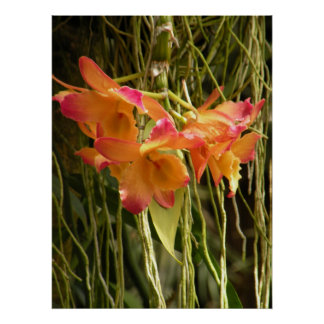 Poster, Dendrobium Orchids Orange and Pink Poster