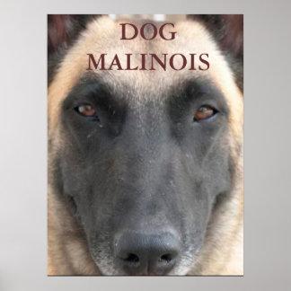 poster dog malinois
